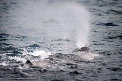 Parte traseira da baleia de esperma Fotografia de Stock