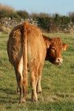Parte traseira da vaca Fotos de Stock Royalty Free