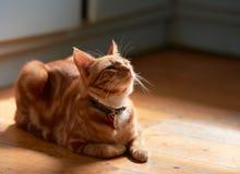 A parte traseira de gato vermelha do gato malhado do gengibre novo adorável iluminou a colocação em um assoalho de madeira que ol Imagens de Stock Royalty Free