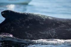 Parte traseira do close up da baleia de corcunda e do barco de turista em Samana, Domin Imagem de Stock Royalty Free