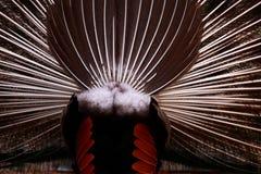 Parte traseira do pavão Imagem de Stock