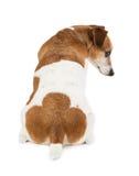 Parte traseira do terrier de Jack Russell do cão Fotografia de Stock Royalty Free