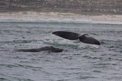 Parte traseira e cauda das baleias direitas do sul que nadam perto de Hermanus, cabo ocidental África do Sul imagens de stock royalty free