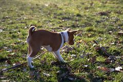 A parte traseira e a opinião lateral um cachorrinho do basenji de dois tons que está em uma área da grama que aspira na terra  imagem de stock royalty free