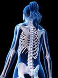 A parte traseira esqueletal de uma mulher ilustração stock