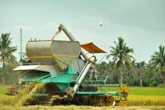 Parte trasera de la cosecha del arroz Fotos de archivo