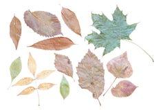 Parte trasera de las hojas de otoño adentro en un fondo blanco limpio Foto de archivo