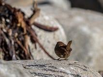 Parte trasera y cola del chochín eurasiático, trogloditas de las trogloditas Pájaro que se sienta en una roca, una alga marina y  Fotografía de archivo libre de regalías