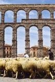 Partei der Schlucht in Segovia, Durchgang von Schafen durch den Aquädukt von Segovia in Spanien Traditionen und Gewohnheiten stockbild