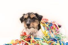 Parteihund Jack Russell bereit zum Karneval stockbilder