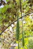 Parteluz verde Imagen de archivo