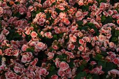 Parterre των ρόδινων τριαντάφυλλων με τα πράσινα φύλλα στοκ φωτογραφίες