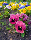 Parterre avec beaucoup de pensées Fond de fleur Photographie stock libre de droits