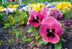 Parterre avec beaucoup de pensées Fond de fleur Image stock