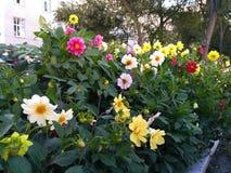 Parterre avec des fleurs de dahlia photographie stock