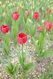 Parterre avec des tulipes Photo stock