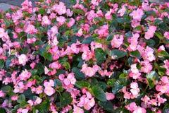Parterre avec les bégonias roses de floraison merveilleux photos libres de droits