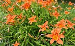 Parterre avec les lis oranges Photos stock