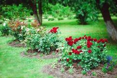 Parterre avec les roses de floraison dans le jardin d'été photographie stock libre de droits