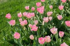 Parterre avec les tulipes rose-clair photos libres de droits