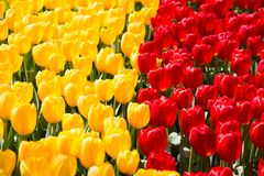 Parterre coloré de floraison de tulipes dans le jardin d'agrément public Site touristique populaire Lisse, Hollande, Pays-Bas Foy photo libre de droits