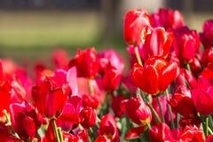Parterre coloré de floraison de tulipes dans le jardin d'agrément public Site touristique populaire Lisse, Hollande, Pays-Bas Foy image stock
