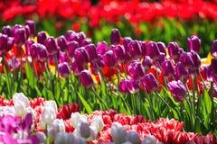 Parterre coloré de floraison de tulipes dans le jardin d'agrément public Site touristique populaire Lisse, Hollande, Pays-Bas Foy images stock