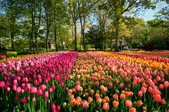 Parterre de floraison de tulipes dans le jardin d'agrément de Keukenhof, Netherland image stock