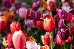 Parterre de floraison de tulipes dans le jardin d'agrément de Keukenhof, Netherland photo libre de droits