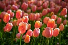 Parterre de floraison de tulipes dans le jardin d'agrément de Keukenhof, Pays-Bas photographie stock libre de droits