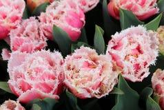Parterre de Tulip Queensland frangée Ressort aux Pays-Bas image stock