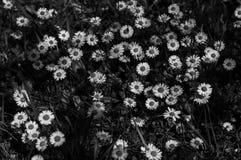 Parterre delle margherite in un giardino privato in Francia fotografia stock libera da diritti