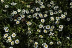Parterre delle margherite in un giardino privato in Francia fotografia stock