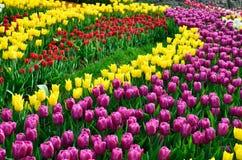Parterre dense de floraison de diverses tulipes Photo libre de droits