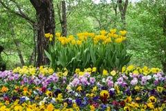 Parterre des tulipes et des pancies en vieux parc Photo stock