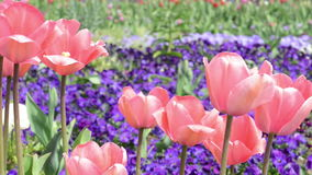 Parterre des tulipes et du flowersin roses de pensée le vent printemps banque de vidéos
