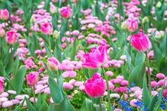 Parterre des tulipes magenta photo stock