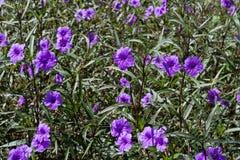 Parterre of Hygrophila Hochr. Purple Hygrophila Hochr in the Public Garden Stock Images