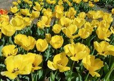 Parterre jaune de tulipes photos stock