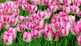 Parterre lilas coloré de tulipes photographie stock