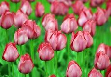 Parterre rose de tulipes image stock