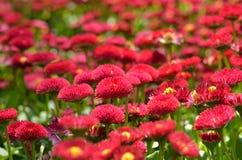 Parterre rouge de marguerites photos libres de droits