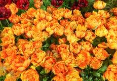 Parterre rouge et orange de tulipe Photos stock