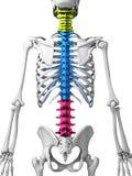 Partes de la espina dorsal humana ilustración del vector