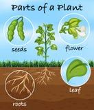 Partes de uma planta ilustração do vetor