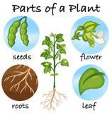 Partes de uma planta ilustração stock
