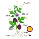Partes de uma planta de fruto da paixão em um fundo branco ilustração royalty free