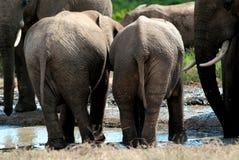Partes inferiores del elefante del bebé fotos de archivo