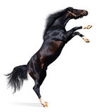 Partes posteriores árabes del caballo Fotos de archivo libres de regalías