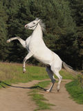 Partes posteriores grises del caballo Fotos de archivo